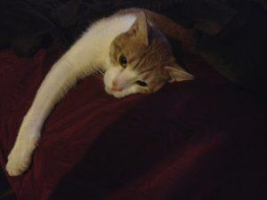 Photo of Alana's cat, Sashimi